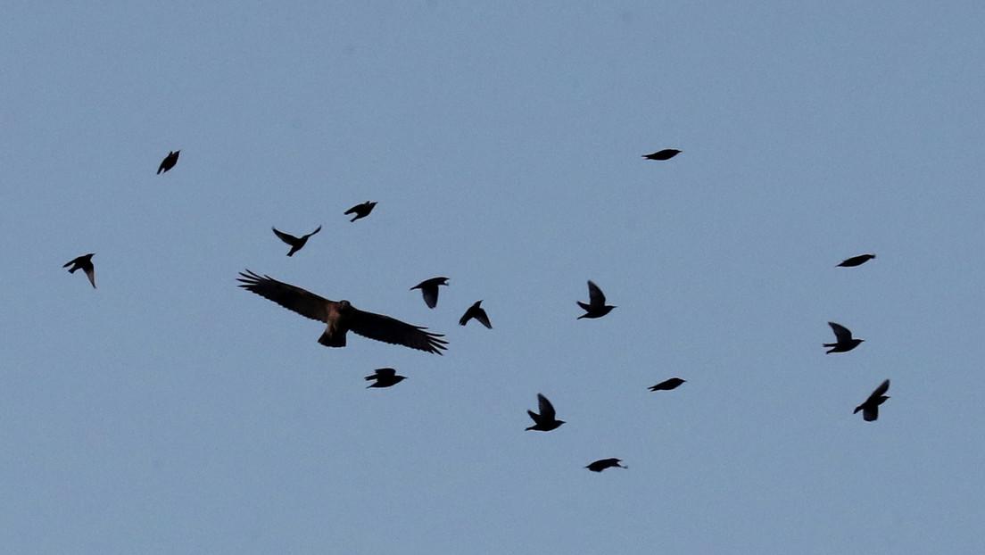 Una misteriosa enfermedad ciega y mata pájaros en EE.UU.