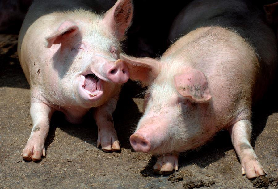 brote de peste porcina