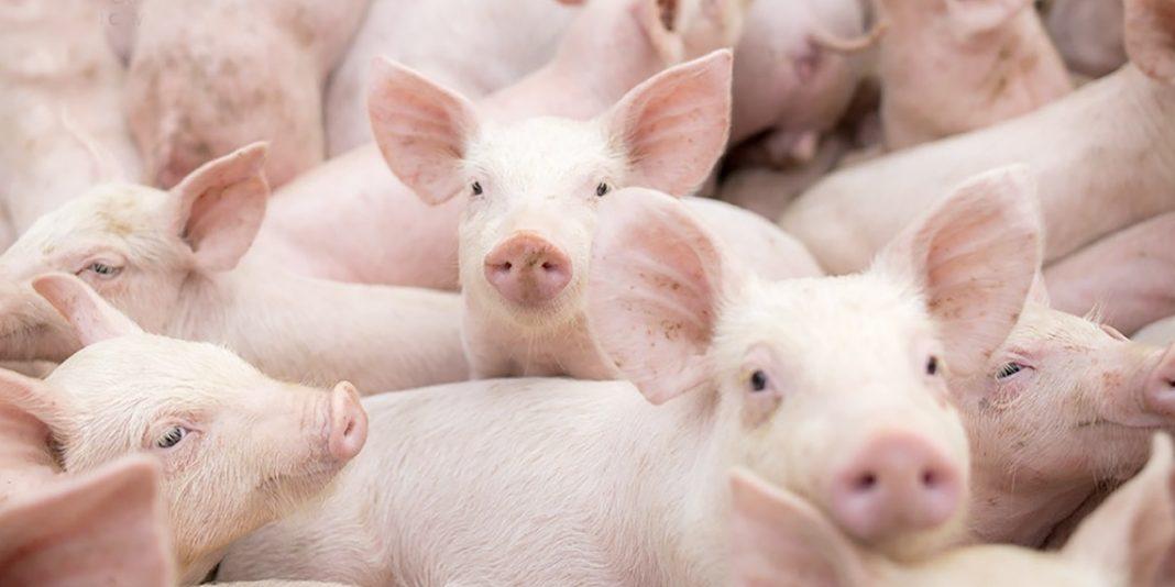USDA confirma peste porcina africana en RD