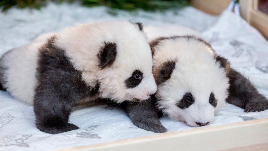 Nacen en un zoológico de Francia dos pandas gemelos